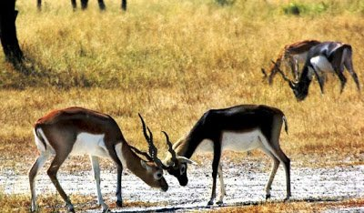 antilopes-dafrique